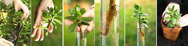 Денежное дерево размножение растения