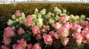 Выращивание цветов в теплице как бизнес: нюансы открытия и ведения