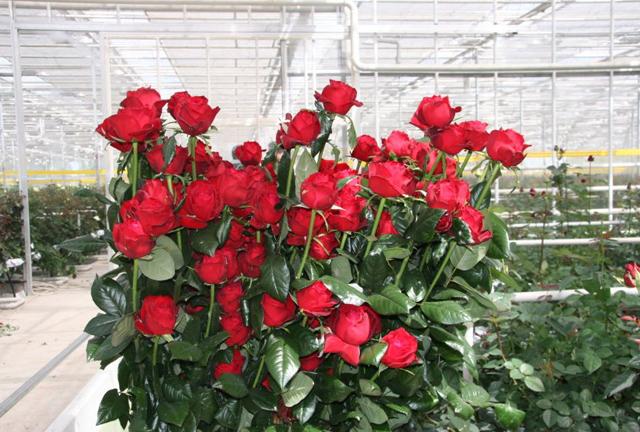 выращивание роз в телице